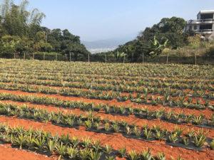 パイナップル畑と南投市