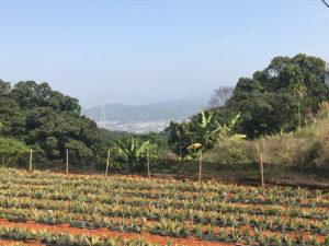 サニーヒルズ裏にあるパイナップル畑