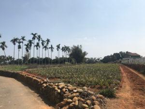 広大なパイナップル畑