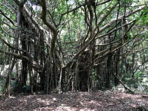 歴史を感じるガジュマルの樹