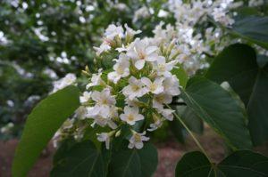 台湾の油桐花(4月中旬から5月初旬)
