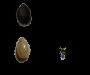 台湾小黒蚊の大きさ