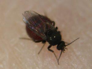 台湾小黒蚊の外見
