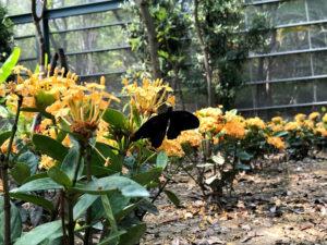 真っ黒な蝶々