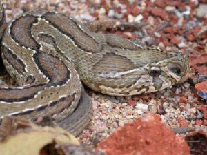 鎖鏈蛇(クサリヘビ)